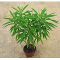 Euphorbia melifera