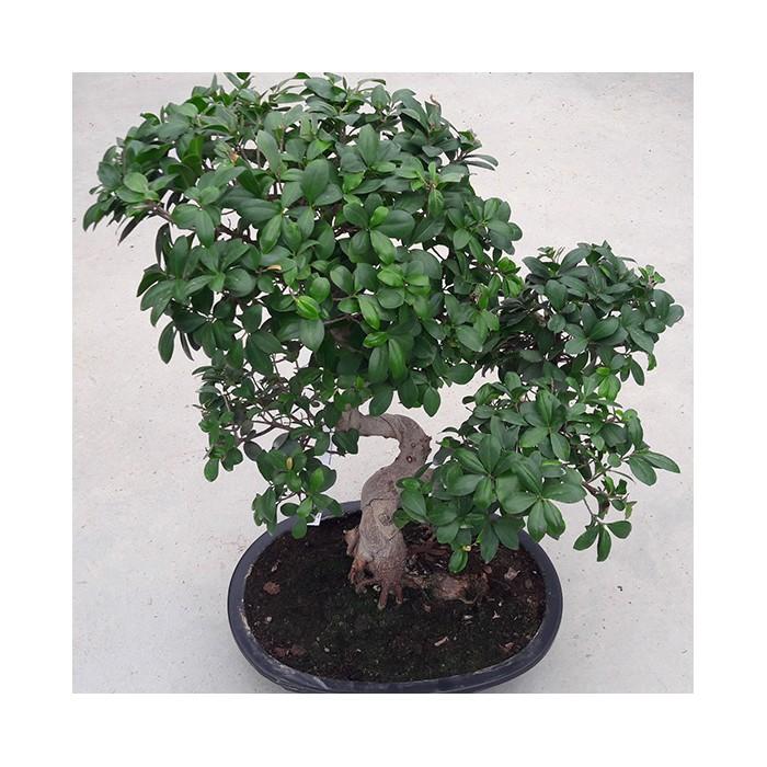 Ficus microcarpa bonzaï