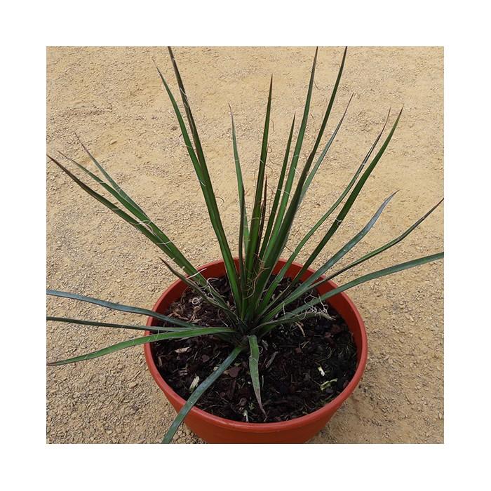 Yucca periculosa