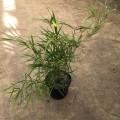 Bambou pleioblastus linéaris
