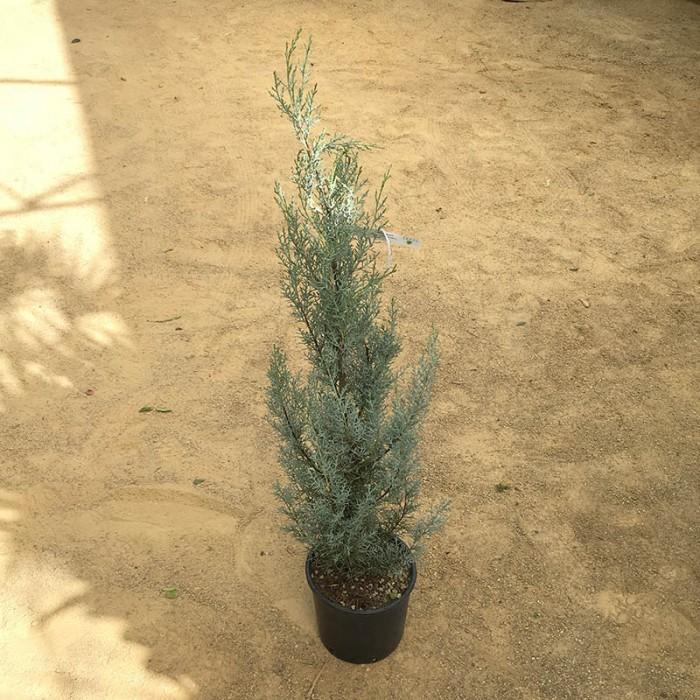 Cupressus arizonica fastigiata glauca