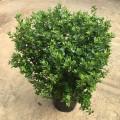 Azalea japonica aladdin scout