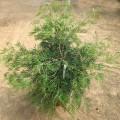 Grevillea mason's hybrid