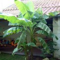 Bananier musa basjoo