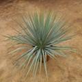 """Hybride """"yucca filamentosa X yucca rostrata blue swan"""""""