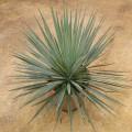 "Hybride ""yucca linéarifolia saltillo X yucca treculeana"""
