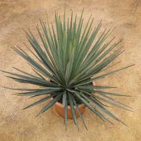 """Hybride"""" yucca linéarifolia bleu galeana X yucca treculeana canaliculata"""""""