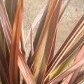 Phormium tenax rainbow queen
