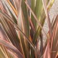 Phormium tenax sundowner