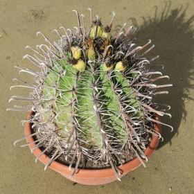 Cactus Ferocactus horridus