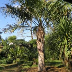 Palmier Butiagrus (butia capitata x syagrus romanzofiana)