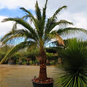 Palmier phoenix sylvestris
