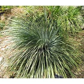 Dasylirion glaucophyllum