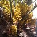 Palmier Chamaerops humilis cerifera