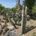 Cactus Cleistocactus strausii