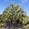 Palmier Butia capitata
