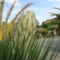 Yucca linearifolia (linearis)