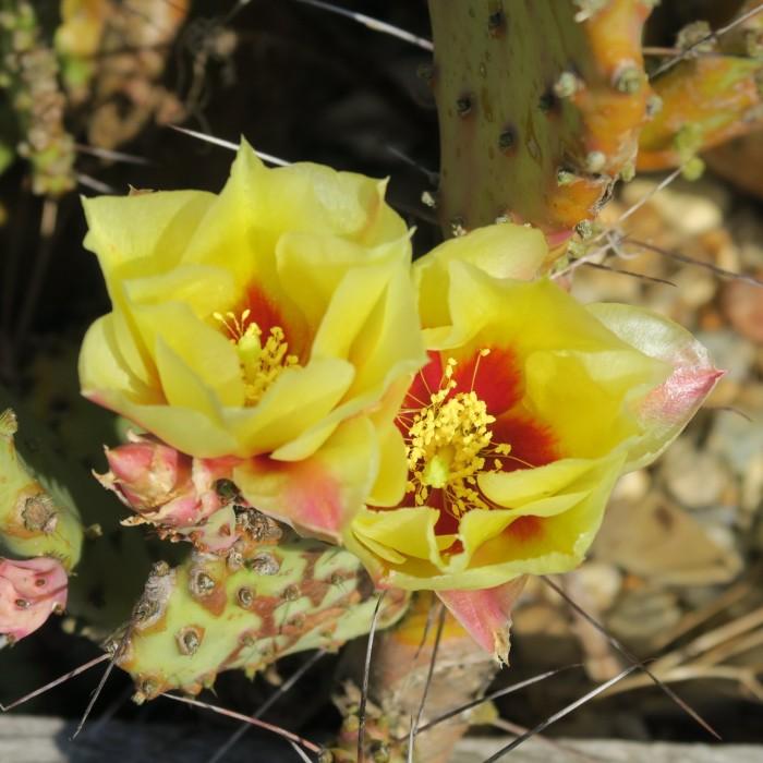 Cactus Opuntia macrocentra