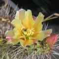 Cactus Opuntia phaeacantha mojavensis