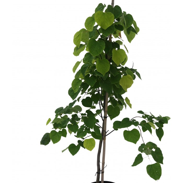 """Cercis canadensis """"The rising sun""""®"""