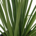 Nolina parviflora