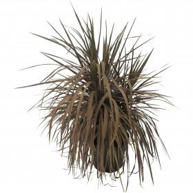 Cordyline australis purpurea