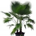 Palmier Washingtonia filifera