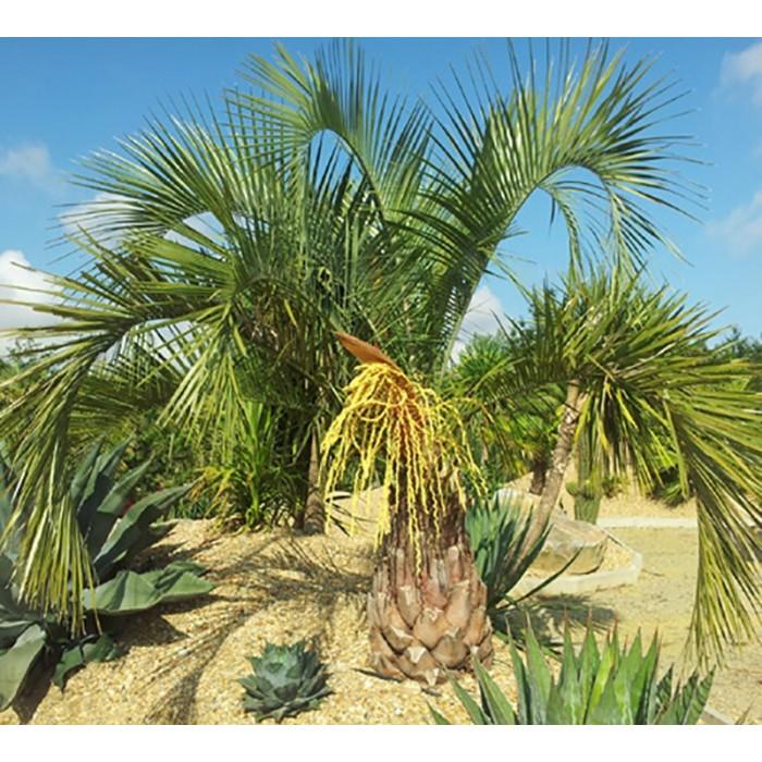 Palmier Butia eriospatha