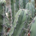 Cactus myrtillocactus