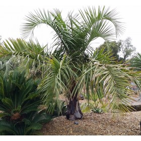 Palmier Butiagrus (butia eriospatha x syagrus romanzofiana sp Santa catarina)