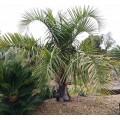 Palmer Butiagrus (butia eriospatha x syagrus romanzofiana sp Santa catarina)