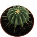 ferocactus glaucescens inermis