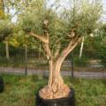 Olivier olea europea Alicante - Circonférence : 120 / 140 cm