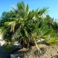 Palmier Chamaerops humilis