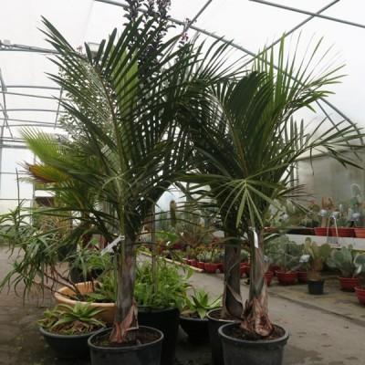 Palmiers d'intérieur