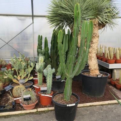 Cactus d'intérieur