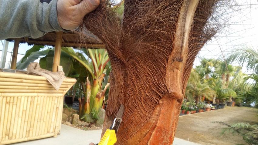 Etape 4 - Mise à nu d'un stipe de palmier