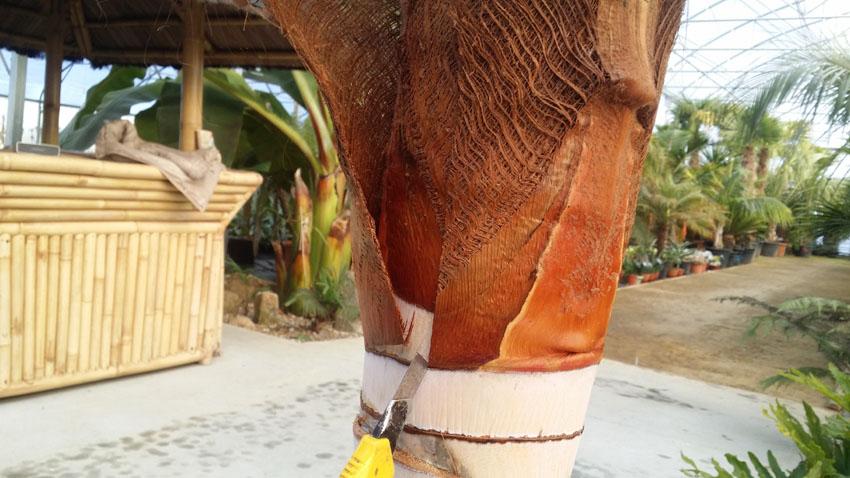 Etape 5 - Mise à nu d'un stipe de palmier