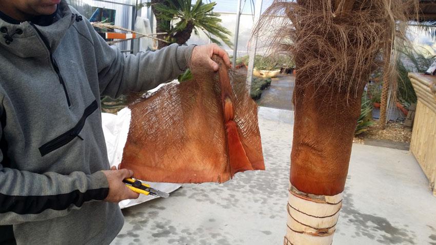 Etape 6 - Mise à nu d'un stipe de palmier