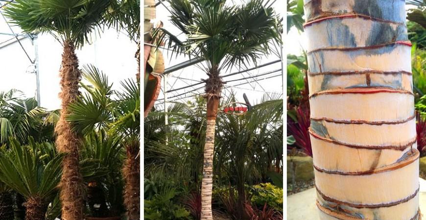 Savoir dénuder un stipe de palmier trachycarpus
