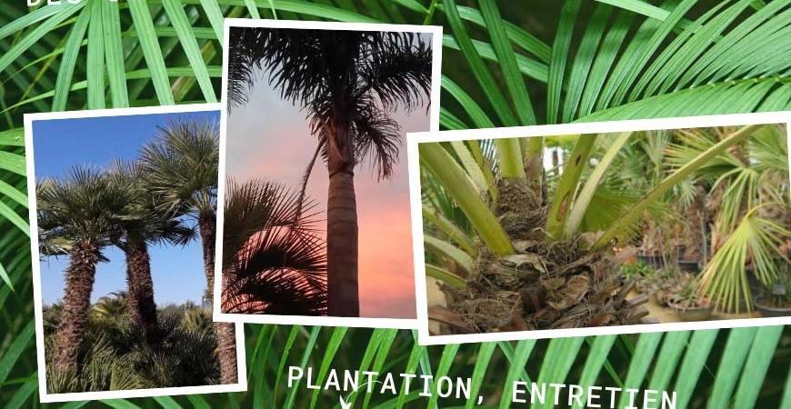 Conseils pour planter et entretenir un palmier